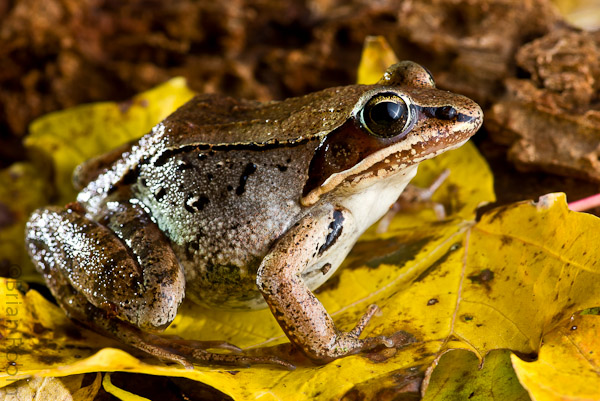 Name:  Wood Frog-4.jpg