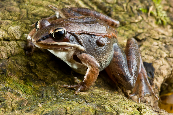 Name:  Wood Frog-5.jpg