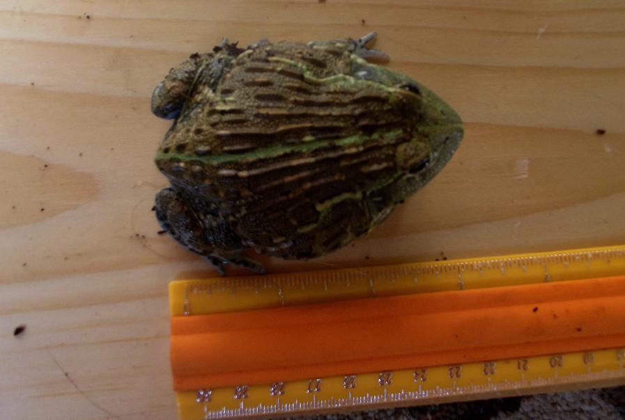 Name:  bullfrog3.jpg Views: 568 Size:  125.8 KB