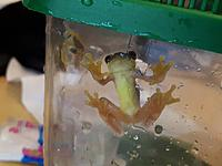 Dendropsophus ebraccatus, right after bringing them home