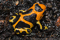 Some of the many races of the Imitating Dart Frog, Dendrobates imitator / Ranitomeya imitator.  This album is mainly for the Imitator Care and Breeding article.