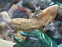 Alexander our Flamed Crested Gecko