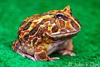 Chacoan Horned Frog, aka Cranwell's Horned Frog  Ceratophrys cranwelli