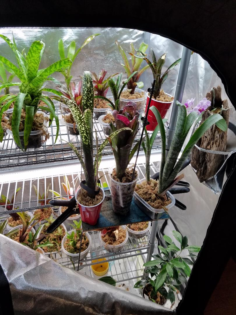 Name:  TRE Bromeliads - Dec 2018 002.jpg Views: 24 Size:  195.5 KB