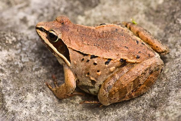 Name:  Wood Frog-7.jpg Views: 243 Size:  163.9 KB