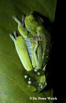 Frog Forum - Red-Eyed Leaf Frog/Red Eyed Tree Frog Care ...