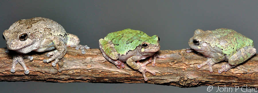 Frog Forum - Gray Tree Frog Care and Breeding