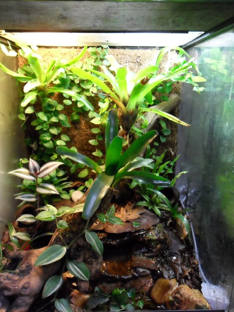 Blue Poison Dart Frog Viv Terr Size Help Please