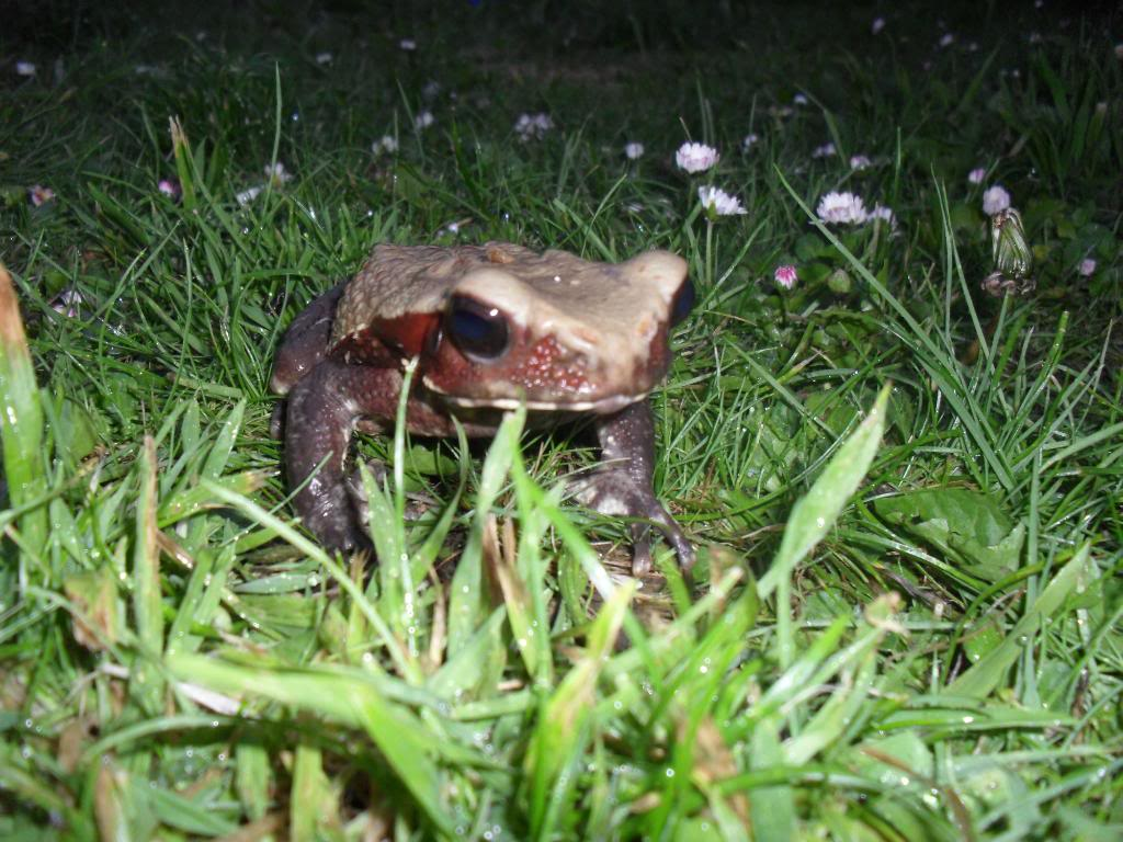 giant red spotted toad